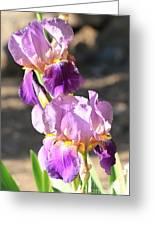 Two Purple Irises Greeting Card
