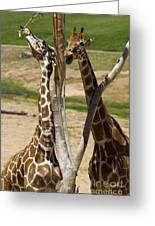 Two Reticulated Giraffes - Giraffa Camelopardalis Greeting Card