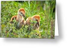 Two Sandhill Crane Chicks Greeting Card