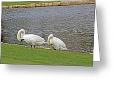 Two Swans Grooming Greeting Card