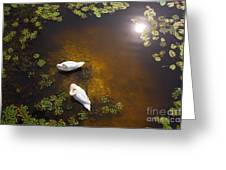 Two Swans With Sun Reflection On Shallow Water Greeting Card