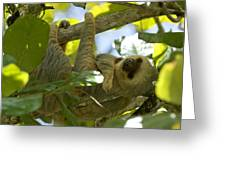 Two-toed Sloth Relaxing With A Grin Greeting Card