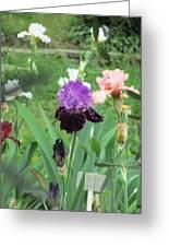 Two Tone Iris Greeting Card