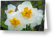 Two-toned Daffodils Greeting Card