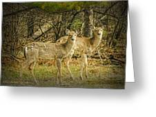 Two White Tailed Deer Greeting Card