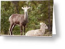 Two Young Stone Sheep Ovis Dalli Stonei Watching Greeting Card