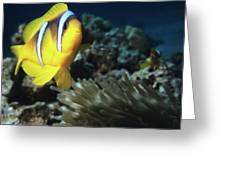 Twoband Anemonefish Greeting Card