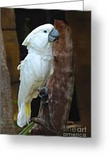 Umbrella Macaw Greeting Card