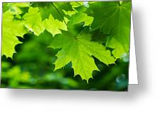 Under The Maple Leaves - Featured 2 Greeting Card
