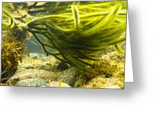 Underwater Shot Of Green Seaweed Attached To Rock Greeting Card