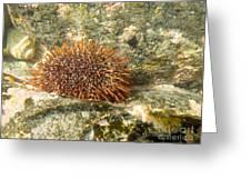 Underwater Shot Of Sea Urchin On Submerged Rocks Greeting Card