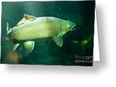 Underwater Shot Of Trophy Sized Tiger Trout Greeting Card