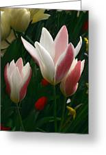 Unfolding Tulips Greeting Card