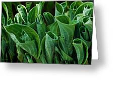 Unfurling Of The Hosta Greeting Card