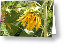 Unripe Sunflowers Greeting Card