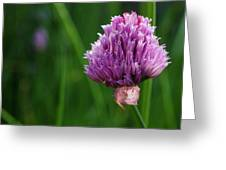 Usa, Oregon, Keizer, Chives In Bloom Greeting Card