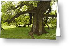 Valley Oak Greeting Card
