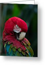 Vanity-close Up Of A Green Winged Macaw Greeting Card