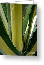 Variegated Agave Greeting Card