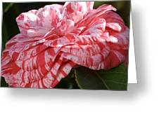 Variegated Camellia Greeting Card