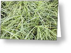 Variegated Monkey Grass Background Greeting Card
