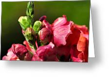 Variegated Snapdragon Greeting Card