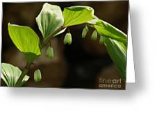 Variegated Solomon's Seal In Spring - Pennsylvania Greeting Card