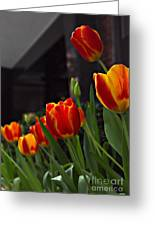 Variegated Tulips Greeting Card