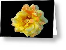Variegated Yellow Rose Greeting Card