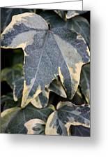 Varigated Ivy Leaves Greeting Card