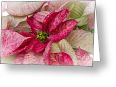 Varigated Poinsettia Greeting Card
