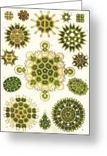 Varities Of Pediastrum From Kunstformen Der Natur Greeting Card