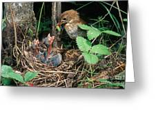 Veery At Nest Greeting Card