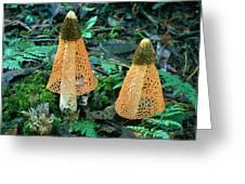 Veiled Lady Mushrooms Greeting Card by Glen Threlfo