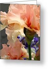 Velvety Soft Vanilla And Pink Iris Greeting Card