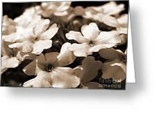 Verbena Named White Hail Greeting Card