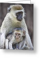 Vervet Monkeys Greeting Card