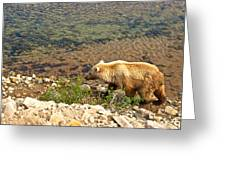 Very Light-colored Grizzly Bear In Moraine River In Katmai Nnp-ak Greeting Card