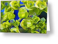 Very Young Hydrangea Greeting Card