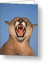 V.hurst Tk21663d, Mountain Lion Growling Greeting Card