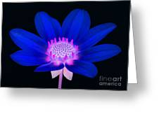 Vibrant Blue Single Dahlia With Pink Centre On Black. Greeting Card