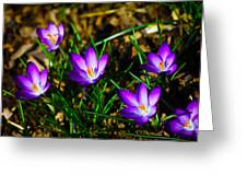 Vibrant Crocuses Greeting Card by Karol Livote