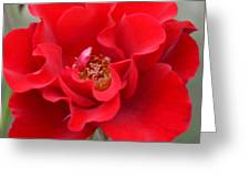 Vibrantly Red Rose Greeting Card