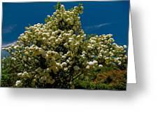 Viburnum Opulus Compactum Bush With White Flowers Greeting Card