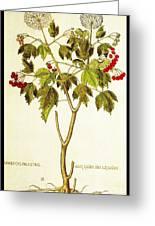 Viburnum Opulus Greeting Card