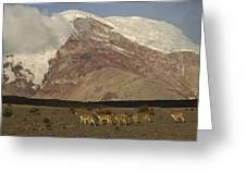 Vicuna Herd Grazing At Mt Chimborazo Greeting Card