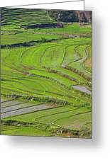 Vietnam, Muong, Elevated View Of Rice Greeting Card
