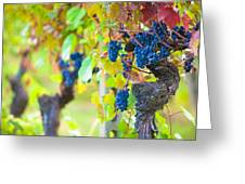 Vineyard Grapes Ready For Harvest Greeting Card