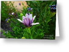 Violet Daisy  Oleo Greeting Card by Stefano Piccini