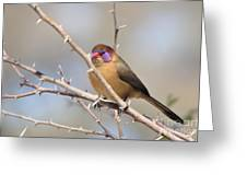 Violet Eared Waxbill Female Greeting Card
